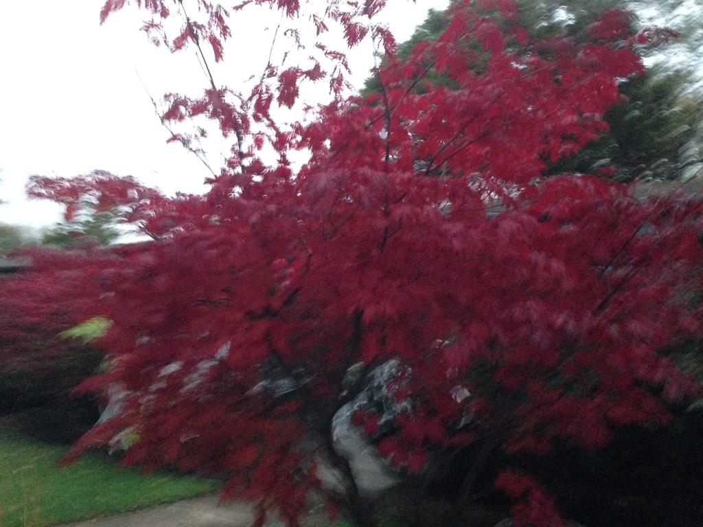 Japanese Maple Acer Palmatum