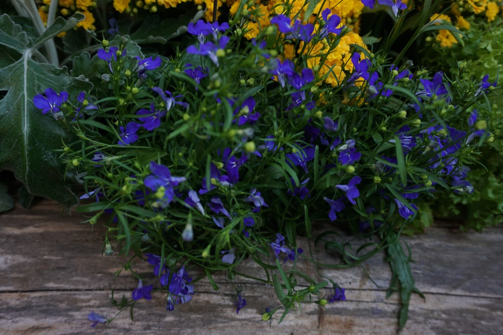 Regatta Midnight Blue Edging Lobelia Lobelia Erinus Regatta