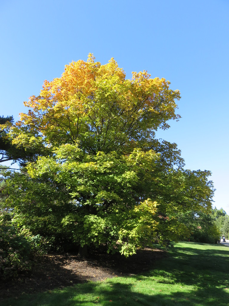 Sugar Maple Acer Saccharum