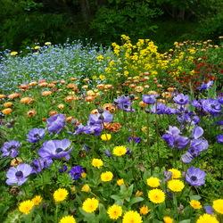 Harmony Blue Poppy Anemone, CITRONA Yellow Wallflower, Early Blue Forget-Me-Not, Sugar Rush Red Wallflower, Lady Godiva Yellow Marigold, Licilia Violet Morocco Toadflax