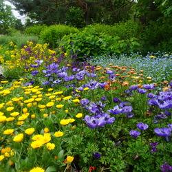 Harmony Blue Poppy Anemone, CITRONA Yellow Wallflower, Early Blue Forget-Me-Not, Lady Godiva Yellow Marigold, Licilia Violet Morocco Toadflax