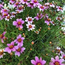 Heaven's Gate Tickseed, in bloom