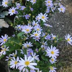 Blue Star Kalimeris, in bloom