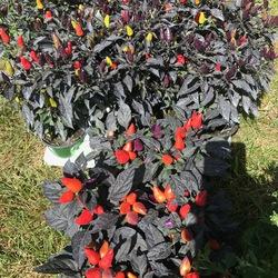 Conga Pepper, Midnight Fire Pepper