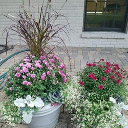 Diamond Frost Spurge, Cirrus Dusty Miller, Purple Fountain Grass, Violet Chrysanthemum, Red Hots Hardy Garden Mum, Pigeon Purple F1 Kale
