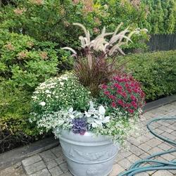 Diamond Frost Spurge, Cirrus Dusty Miller, Purple Fountain Grass, Red Hots Hardy Garden Mum, White Chrysanthemum, Pigeon Purple F1 Kale
