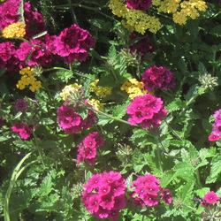 Superbena Burgundy Garden Verbena, Terra Cotta Yarrow