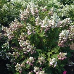 Pinky-Winky Panicle Hydrangea, in bloom