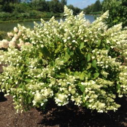 White Lady Panicled Hydrangea, in bloom