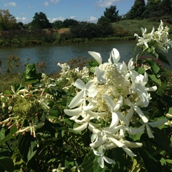 Great Star Panicle Hydrangea, in bloom