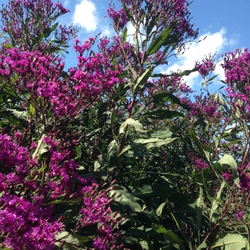 Giant Ironweed, in bloom