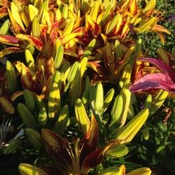 Tiny Sensation Asiatic Lily