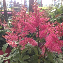 Pink flower spikes of Drum & Bass Astilbe