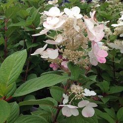 Flowers of the Quick Fire Hardy Hydrangea
