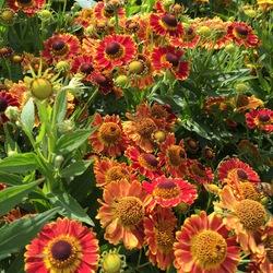 Mariachi Fuego Helenium, in bloom