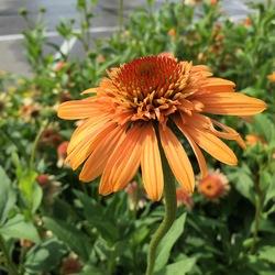 Flower of Cantalope Coneflower