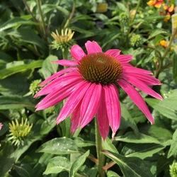 Flower of PowWow Wild Berry Coneflower
