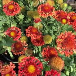Fanfare Blaze Blanket Flower, in bloom