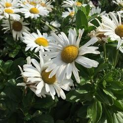 Montauk Daisy, in bloom