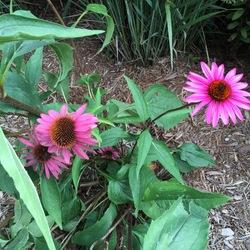 Ruby Star Purple Coneflower, in bloom
