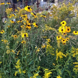 Bright Yellows: Solar Cascade Goldenrod & Black-Eyed Susan?, in bloom