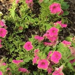 Supertunia Picasso in Pink Petunia