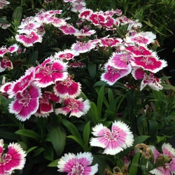 Floral Lace Picotee Dianthus, in bloom
