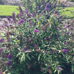 Purple Emperor Butterfly Bush, in bloom