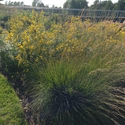 Heidebraut Purple Moor Grass, Solar Cascade Short's Goldenrod