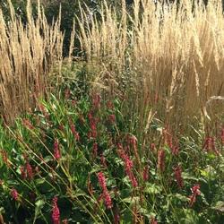Fire Tail Mountain Fleeceflower, Korean Feather Reed Grass