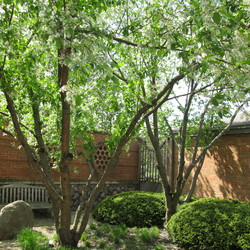 Blooming Amur Chokecherry (Prunus maackii) surrounded by Intermediate Yew (Taxus x media 'Bergi')
