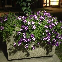 Bravo Purple Star Petunia, in bloom