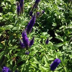 Royal Candles Speedwell, in bloom