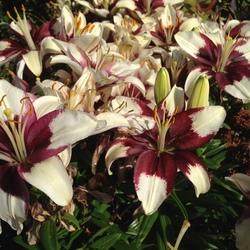 Tiny Padhye Asiatic Lily