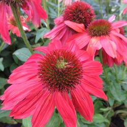Flowers of Sombrero Salsa Red Coneflower