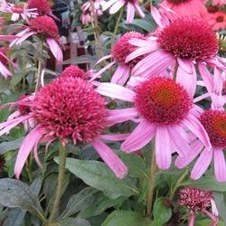 Pink Double Delight Coneflower, in bloom