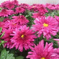 Flowers of Beth Violet Garden Mum