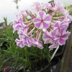 Flowers of Natascha Meadow Phlox