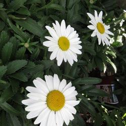 Flowers of Snowcap Shasta Daisy