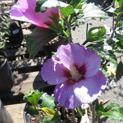 Minerva Rose of Sharon, in bloom