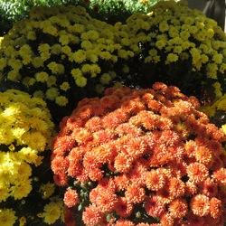 Yolanda Yellow & Fancy Ursula Orange Garden Mums