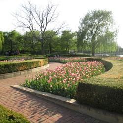 Triumph Tulip, Boxwood