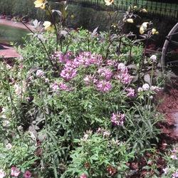 Senorita Rosalita Spider Flower, Mystic Illusion Dahlia, Vermillionaire Firecracker Plant