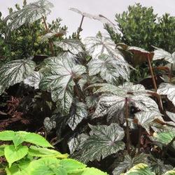 Gryphon Begonia, Colorblaze Lime Time Coleus