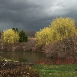 Weeping Willow, Bald Cypress