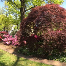 Dissectum Red Select Japanese Maple, Rhododendrons