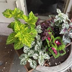 Electric Lime Coleus, Kong Jr. Rose Coleus, Confetti White Polka-Dot Plant, Confetti Pink Polka-Dot Plant, Jurassic Green Streak Rex Begonia