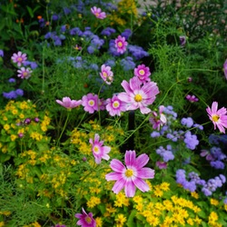 Showstar Blackfoot, High Tide Blue Floss Flower, Happy Ring Cosmos