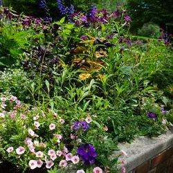 Black and Blue Anise-Scented Sage, Freckles Coleus, All Around Purple Globe Amaranth, Superbells Cherry Blossom Mini Petumia, Perfume Deep Purple Jasmine Tobacco