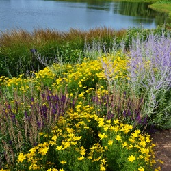 Russian Sage, Golden Showers Threadleaf Coreopsis, Burgundy Candles Meadow Sage